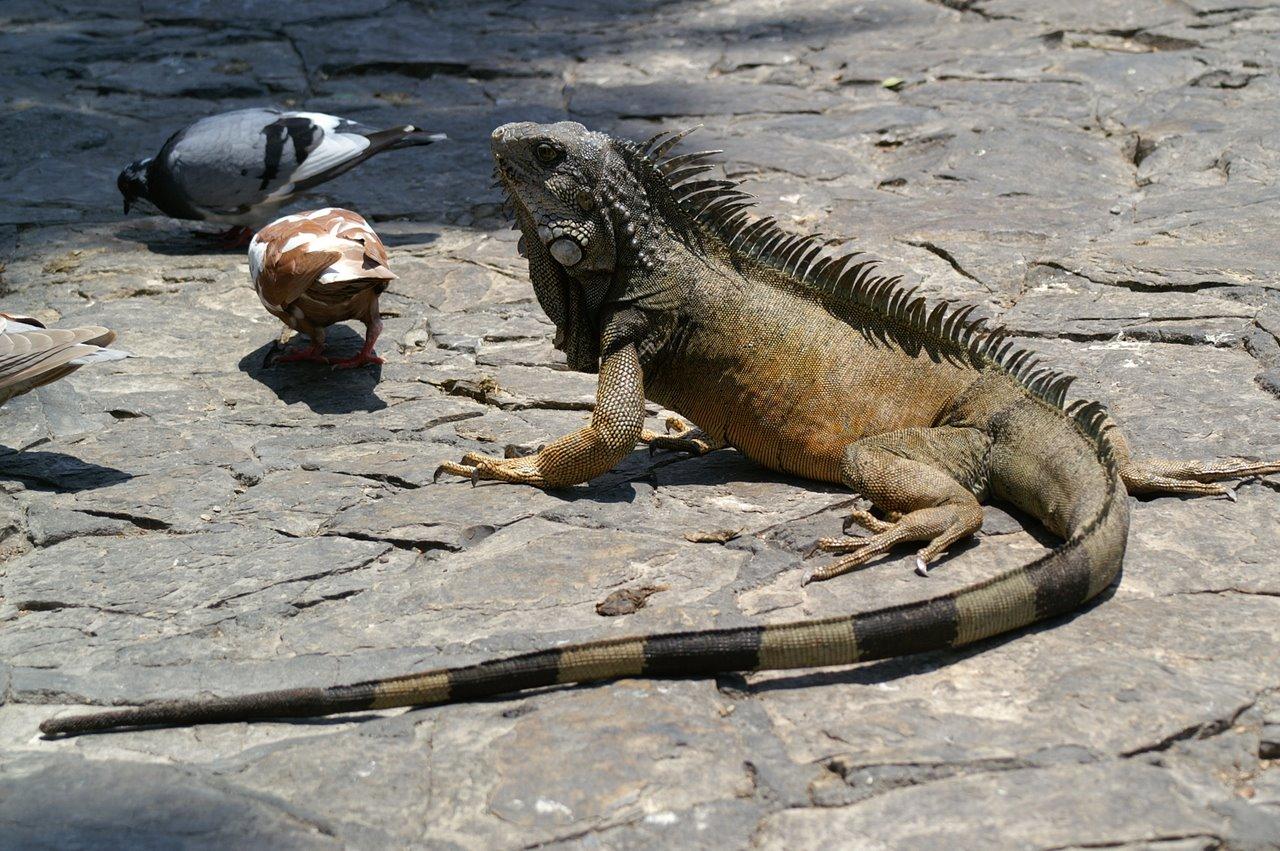 echsen komodowaran dinosaurier echse.